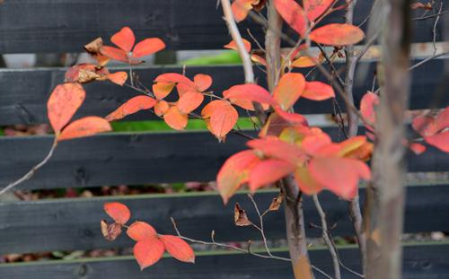 ウッドフェンス紅葉
